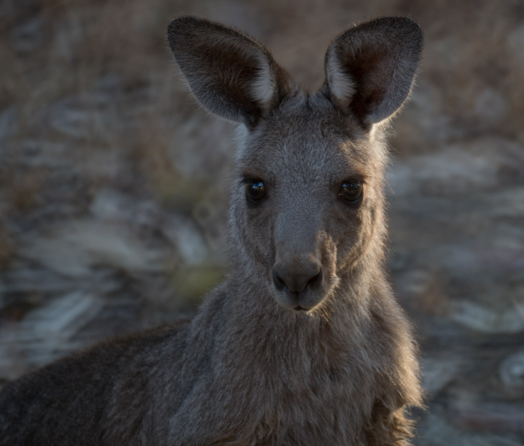 Kangaroo-1